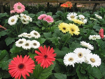 Гербери - теплолюбні квітки