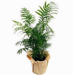 Хамедорея з сімейства пальмових