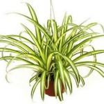 Хлорофітум - це кімнатна рослина