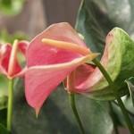Антуріум в домашніх умовах, вирощування і догляд