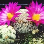 Мамілярія - вирощування і догляд