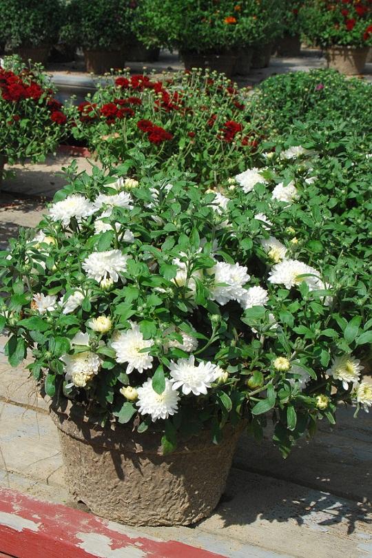 Хризантема у саду