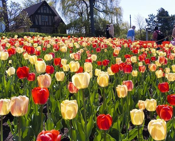 Тюльпани з сімейства лілейних