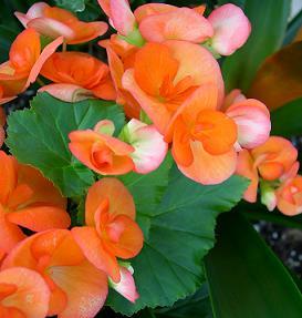 Бегонія, догляд та вирощування