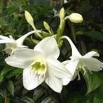 Еухаріс: розмноження, цвітіння, пересадка