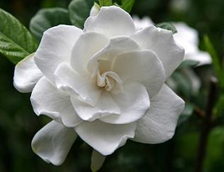 Гарденія квіткова кімнатна рослина