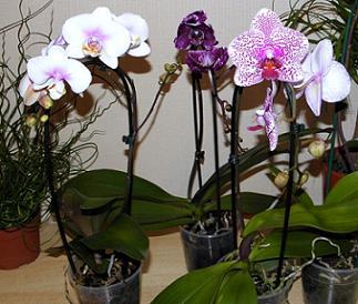 Орхідея фаленопсис - догляд, вирощування.
