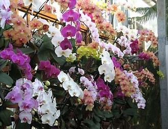 Орхідея, правильне розмноження