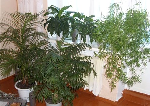 Розміщення рослин біля вікна