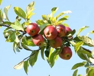 Садівництво яблунь, догляд за ними