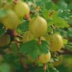 Агрус вирощування з саджанців