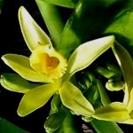 Ванільна орхідея - догляд.