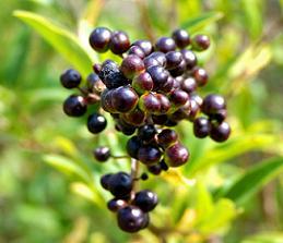 Чорноплідна горобина посадка і вирощування