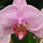 Розмноження орхідей в домашніх умовах