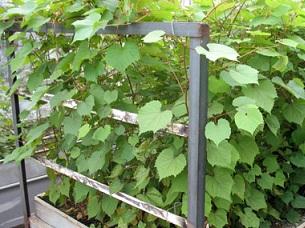 Як виростити саджанці винограду?