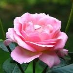 Кімнатні троянди - догляд