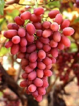 Хвороби винограду, їх лікування