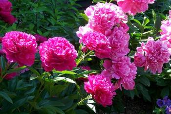 Піони красиві квіти - садимо.