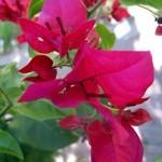 Бугенвілія - вирощування і догляд