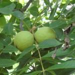 Вирощуємо грецький горіх