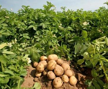 Вирощування картоплі в Україні - технологія