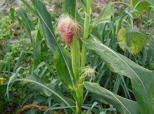 Цукрова кукурудза - обробка, вирощування.
