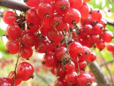 Садимо червону або білу смородину