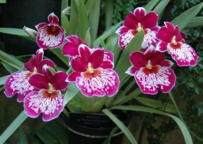 Мільтонія з роду орхідей