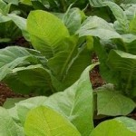 Вирощуємо тютюн з насіння.
