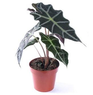 Кімнатна рослина алоказія