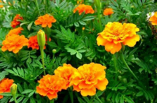 Квіти чорнобривці.