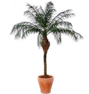 Фінікова пальма кімнатна