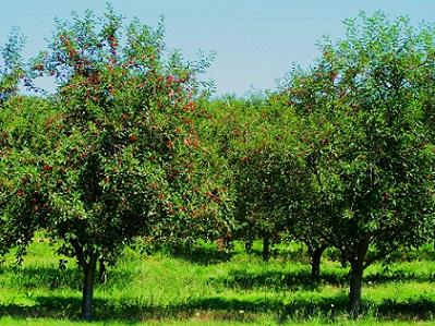 Догляд за фруктовими деревами.