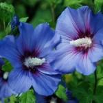 Гібіскус садовий - догляд