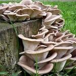 Вирощування грибів гливи в домашніх умовах