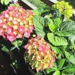 Гортензія садова - догляд і вирощування.