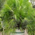 Пальма хамеропс - догляд.