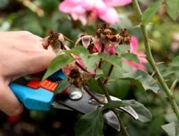 Як обрізати троянди правильно?