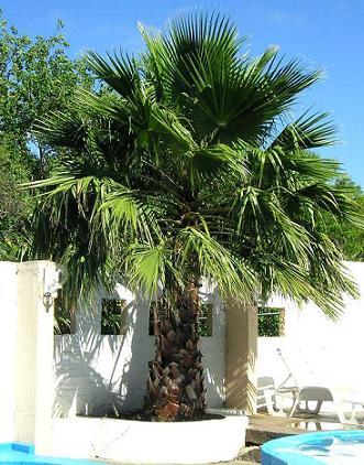 Пальма хамеропс.