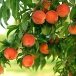 Вирощування персика - правила.