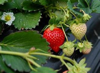 Голландська технологія вирощування полуниці