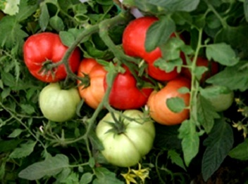 Догляд за помідорами.