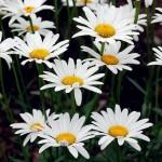 Квітка ромашка - садова або лікарська