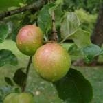Як виростити яблуню із зернят?