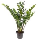Заміокулькас — це поширена кімнатна рослина, що потребує гарний догляд у домашніх умовах