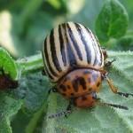 Боротьба ядами з колорадським жуком