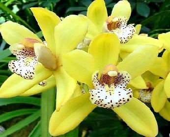 Жовтіє листя в орхідеї, що робити?