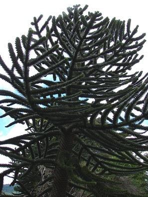 Араукарія - фото