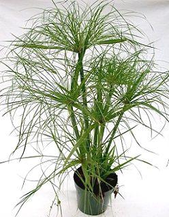 Циперус, його вирощування і догляд