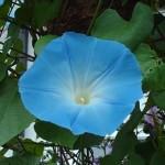 Іпомея пурпурова або блакитна
